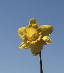 large_daffodil